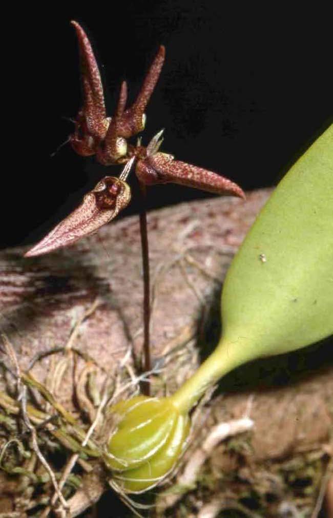 Bulbophyllum longiflorum image